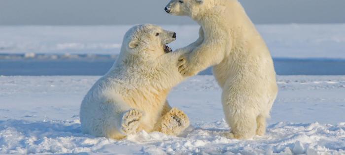 niedźwiedzie-polarne-alaska- hans-jurgen-mager-CHqbiMhQ_wE-unsplash